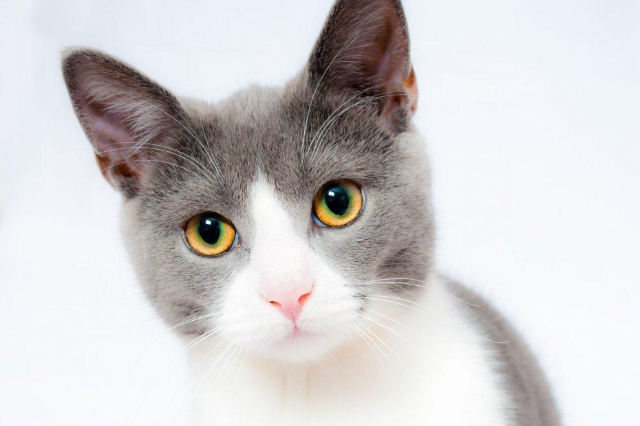 Котешки-калицивирус-често-срещано-заболяване-при-котките