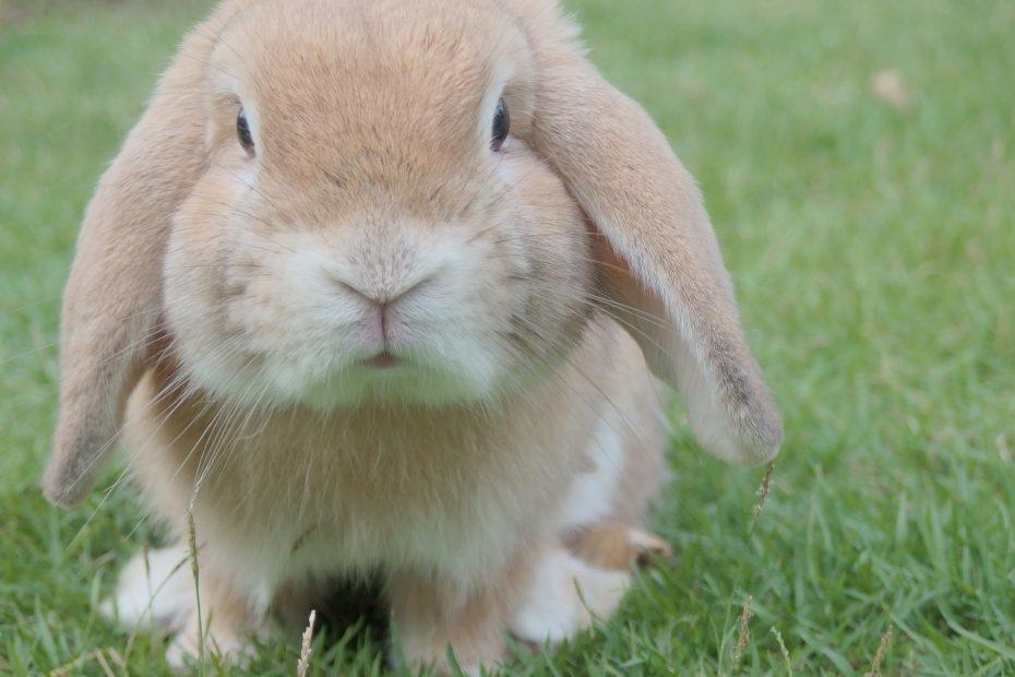 мини-зайче-домашен-любимец