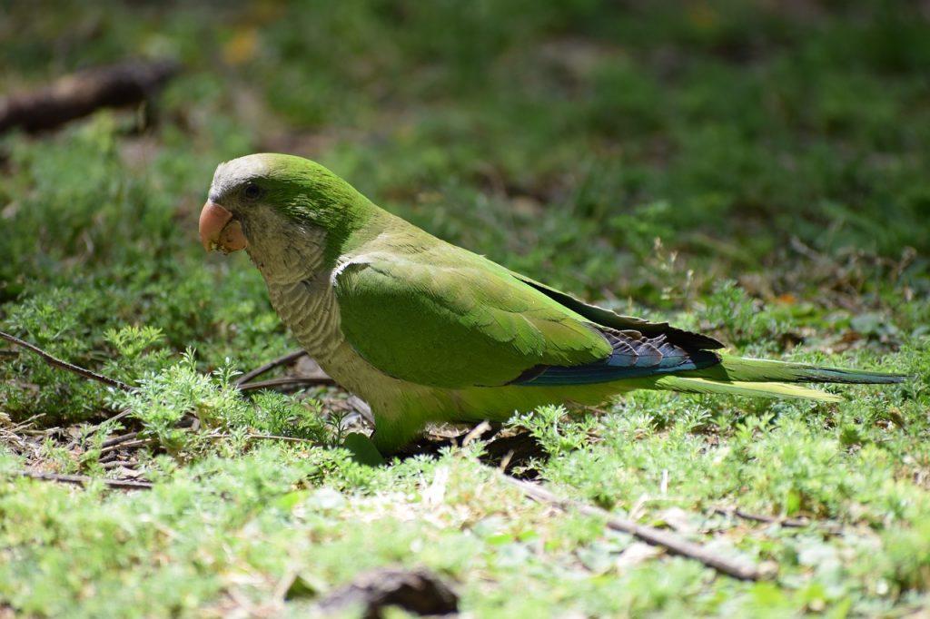 папагал-монах-отглеждане