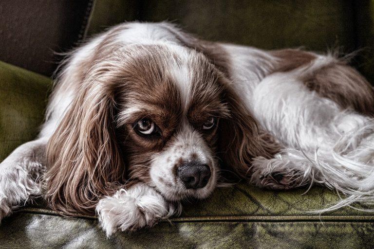 парвовироза-при-кучета