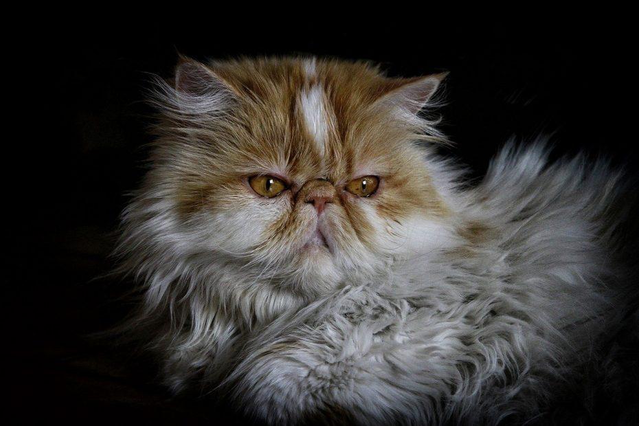 персийска-котка