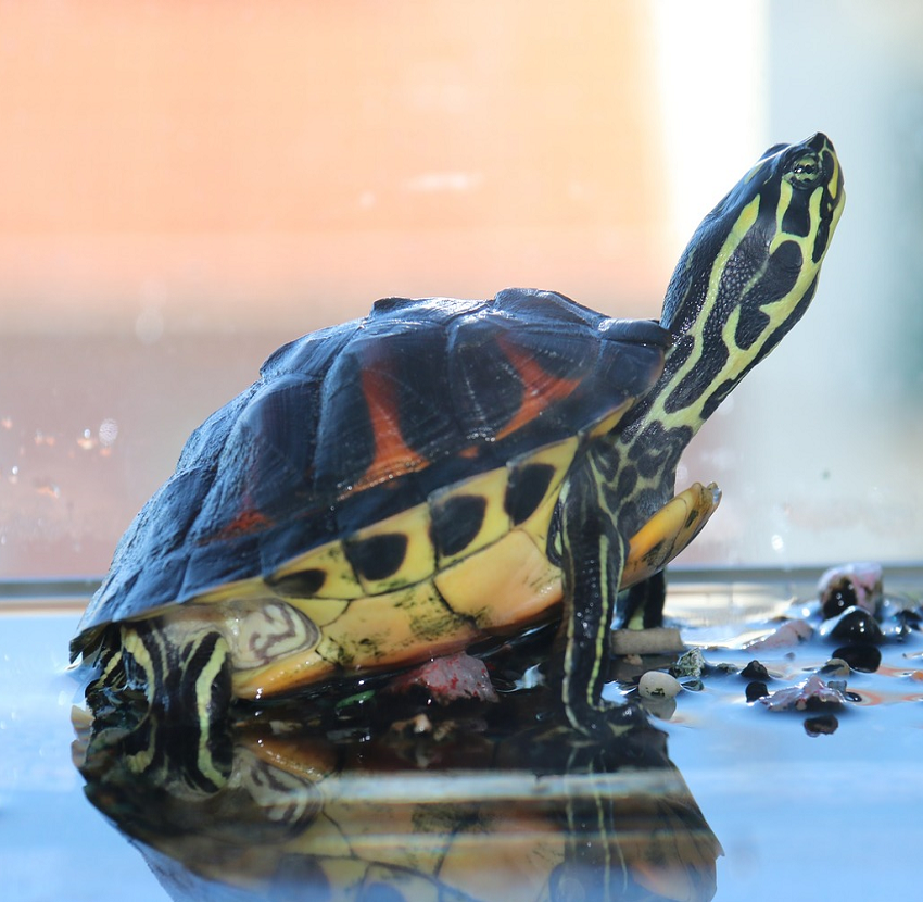 костенурка-отглеждане