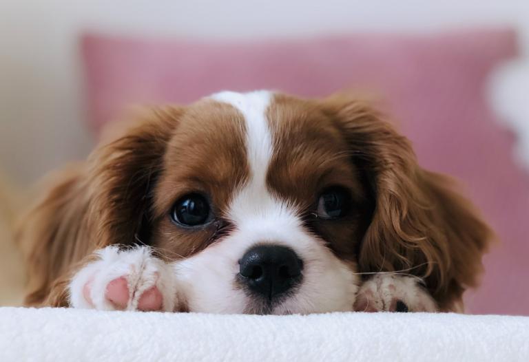 инфекциозен-хепатит-при-кучетата