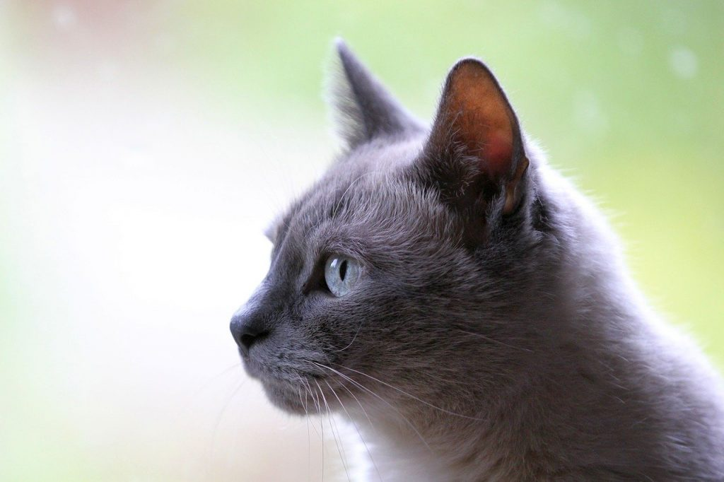 микроспория-котките-скрити-преносители-на-заразата