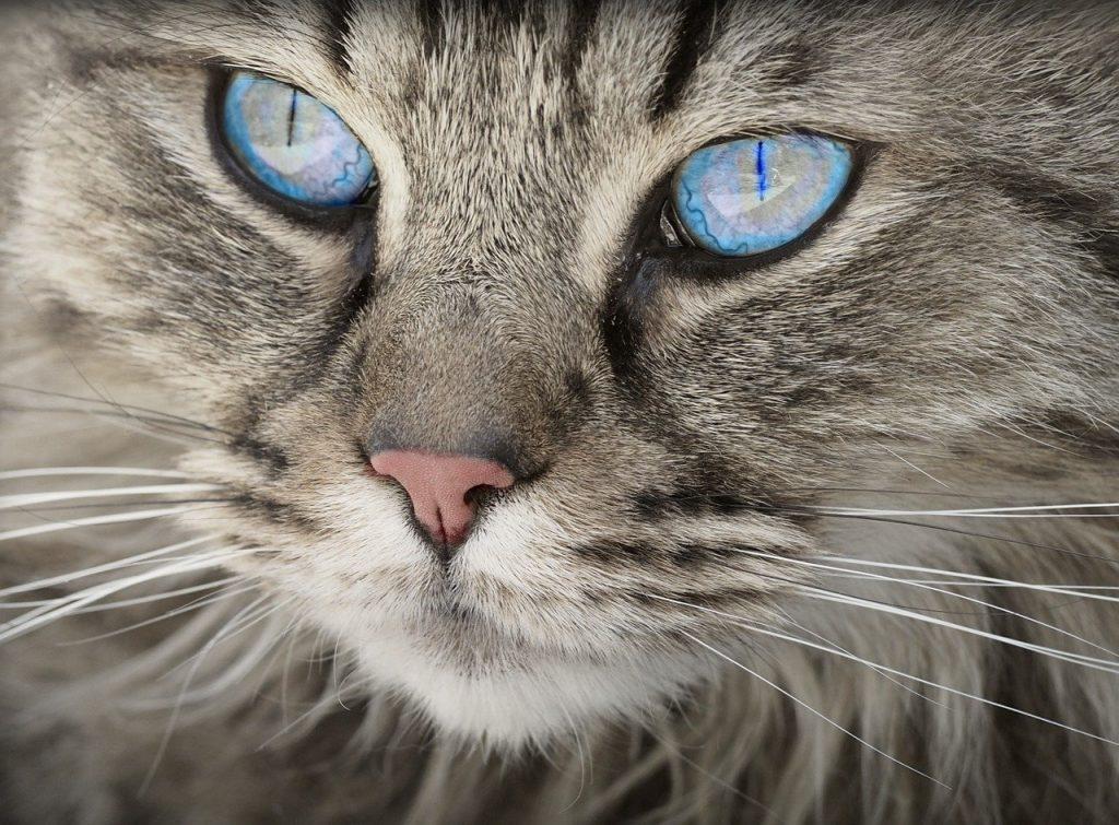 панлевкопения-чума-по-котките