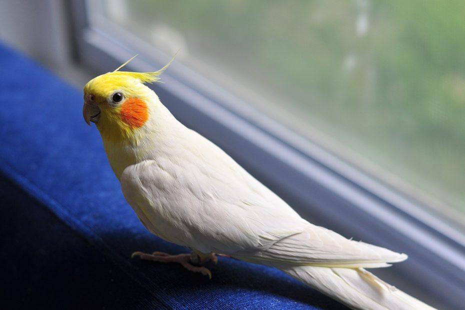 папагал-корела-какво-трябва-да-знаем