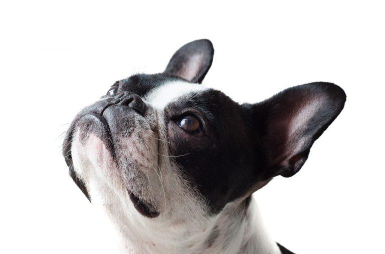 анаплазмоза-при-кучетата