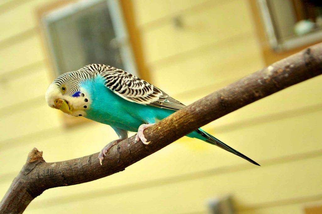 вълнисти-папагали