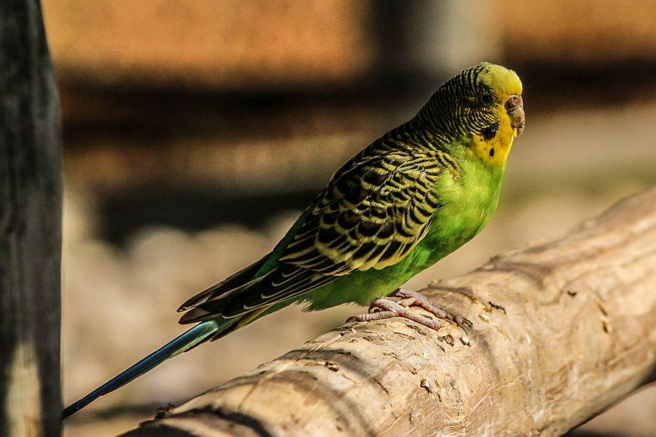 вълнист-папагал-какво-трябва-да-знаем