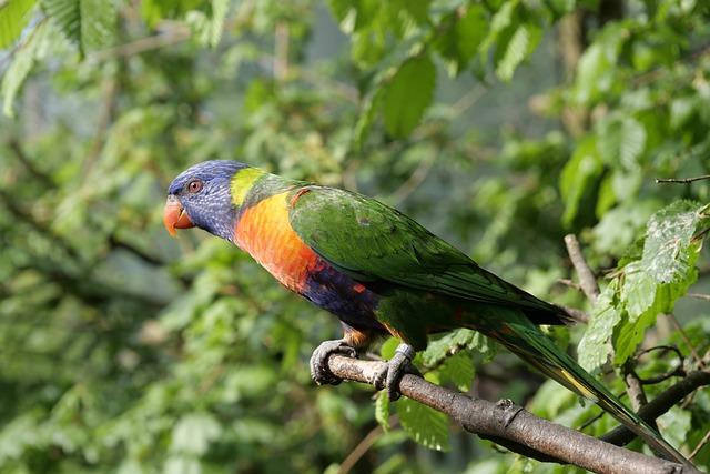 папагал-лори-окраска